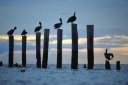 Pelicans at Naples bay, FL, USA