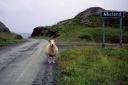The lone sheep