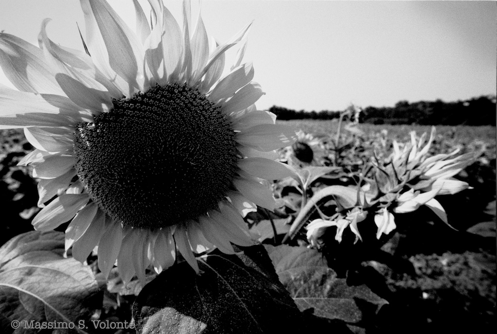 Nightmare 30 - A sunflower in its field